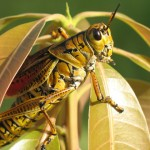 ISRAELI RESEARCHERS DESIGN ROBOT LOCUSTS